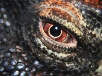 komodo-dragon-eye-linda-sannuti