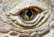 5083630-komodo-dragon-eye