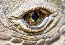 5083630-komodo-dragon-eye