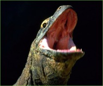 Komodo Dragon Opening Mouth
