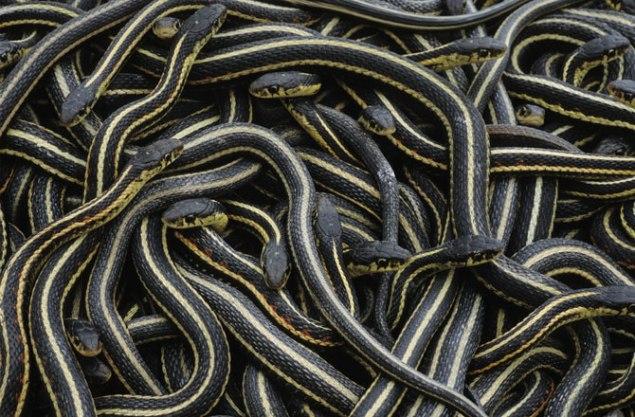 winter-warm-animals-garter-snakes